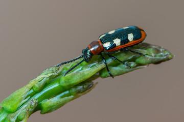 leaf beetle -Common Asparagus Beetle - Crioceris asparagi