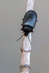 Alleculinae - Prionychus ater