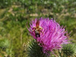 Une abeille couvert de grains de pollen.