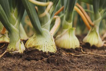 Fototapeta Closeup of fresh, organic white onions growing in the garden obraz