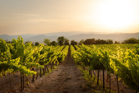 A vinyard in France photographed during a stunning sunset
