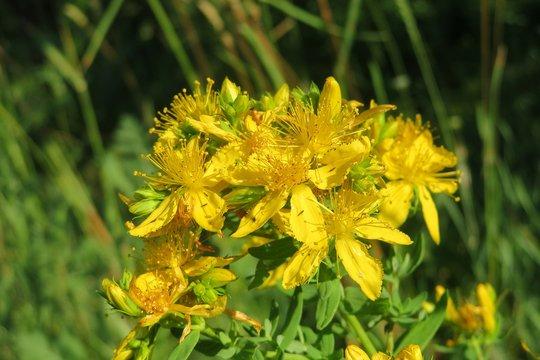 St Johns-wort flowers