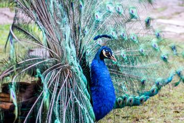A close portrait of a blue peacock