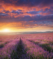 Wall Mural - Meadow of lavender at sunset