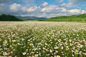 Wall Mural - Beautiful camomile meadow in mountain at sunset