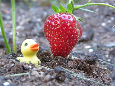 Tiny rubber duck and strawberries