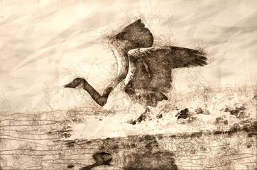 Wall Mural - Sketch of a Canada Goose Landing in Water