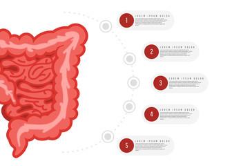 Medicine, biology concept infographics. Colon. Gastrointestinal tract. Vector illustration of human colon