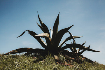 mexican cactus, agave in plant Mexico