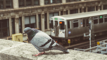 Urban Scene Pigeon On Building Top Close up With Elevated Metro Train Downtown City Center