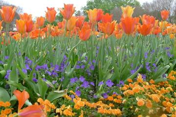 Orange Tulips and Violet Flowers in Dallas Arboretum and Botanical Garden