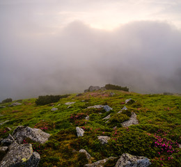 Rhododendron flowers on early morning cloudy Carpathian Mountains.