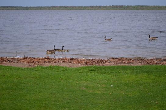Springtime on Lake Bemidji: Canada Geese and Goslings