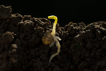 Spring bean bud with root in ground