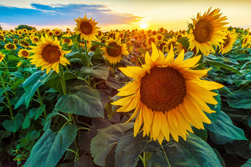 Tuinposter Zonnebloem Beautiful sunflower field panorama in sunset in summer