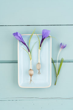 Crepe paper crocus flowers and a real crocus on turquoise wooden background