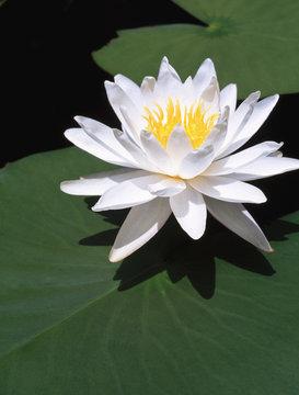 Closeup of fragrant water lily waterlily (Nymphaea odorata) flower bloom in Okefenokee Swamp