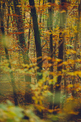 Autumn scene in a beech forest