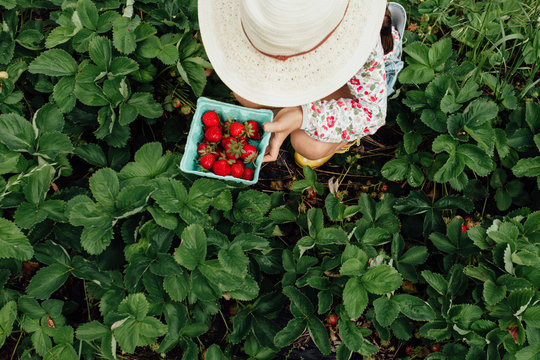 View from above of girl holding a pint of freshly picked strawberries