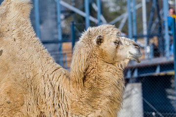 Close up photo of camel head in the zoo