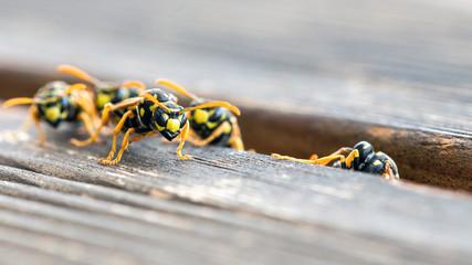 Wespen klettern aus einer Spalte im Holz
