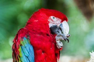 Zoo de la Flèche - Ara rouge