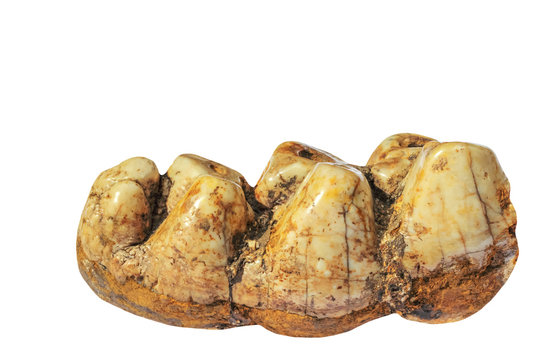 A fossilized mammoth tooth  on white background