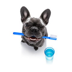 Foto auf Acrylglas Crazy dog dental toothbrush dog