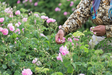 Woman picking pink roses (Rosa damascena, Damask rose) for perfumes and rose oil in garden during spring. Close up view of her cracked hands and the picked roses. Selective focus Agricultural concept