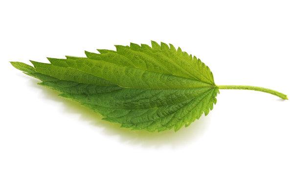 Green leaf nettle.