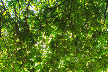 Green foliage with bright sun in spring. Nature green background with space for text. Happy mood. Selective focus.