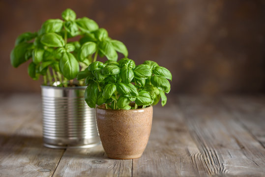 Young fresh basil in pots. Home grown basil. Selective focus. Copy space