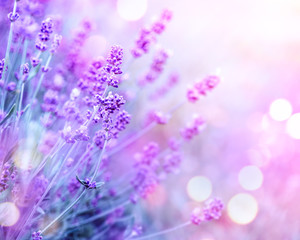 Lavender. Blooming fragrant lavender flowers on a field, closeup. Violet background of growing...