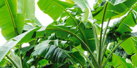 Wall Mural - Banana tree in the garden Tropical leaves background