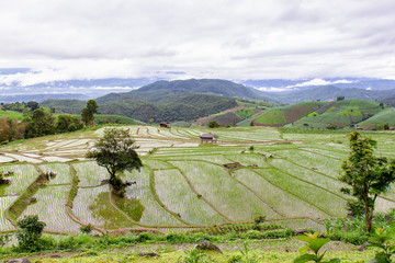 Green Terraced Rice Field in Pa Pong Pieng