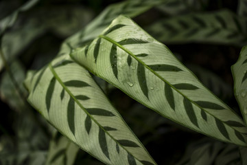 Close-up of marantaceae calathea leopardina evergreen leaves