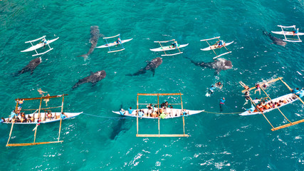 Tourists are watching whale sharks in the town of Oslob, Philippines, aerial view. Summer and travel vacation concept. People snorkeling and and watch whale sharks from above. Oslob, a famous spot for