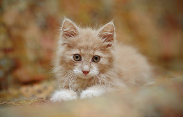 Portrait of a small fluffy red kitten
