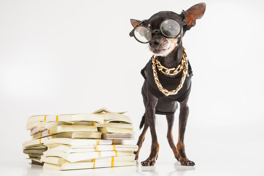 A small doggy with banknotes. Dog financier. Animal businessman banker. Toy terrier with glasses. Dog with gold chains around his neck. Dogs breed Prague Ratter. Pocket dogs. Pets.
