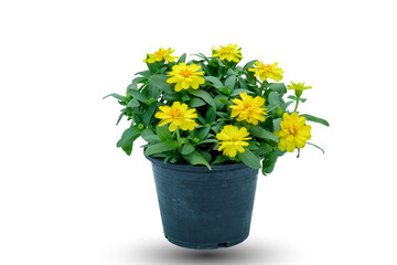 Color of Zinnia on the White Background