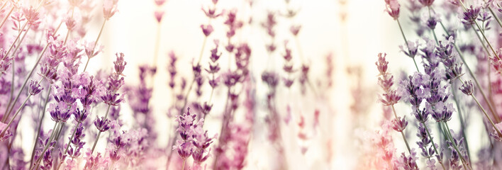Keuken foto achterwand Lavendel Selective and soft focus on lavender flowers, lavender flower in flower garden