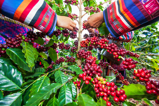 Tribe Lahu women collecting coffee berries in a coffee garden.