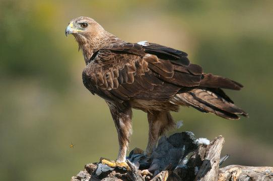 Rare birds Bonelli's eagle on a branch- Aquila fasciata -Hieraaetus fasciatus