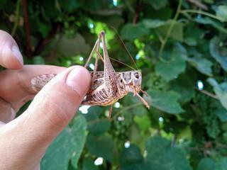 decticus verrucivorus in man's hand. Grasshopper caught