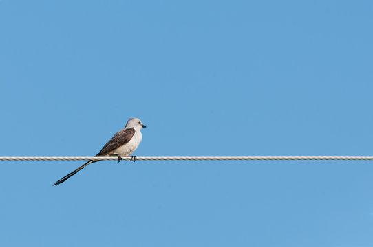 Male Scissor tailes Flycatcher