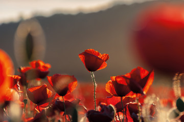 red poppies in the field in evening light. beautiful nature background with flowers. hill blurred out in the distance. sunny weather. shallow depth of field