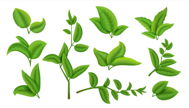 Realistic tea leaves and branches. Green plants and herbs isolated on white, natural tea leaf collection. Vector refreshing drink herbal agricultural set