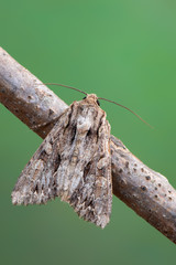 owlet moth - Dark Arches - Apamea monoglypha