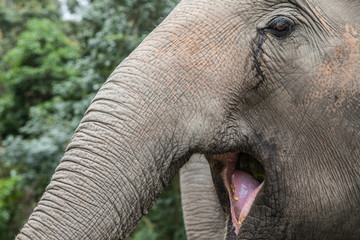 Open-mouthed Elephant