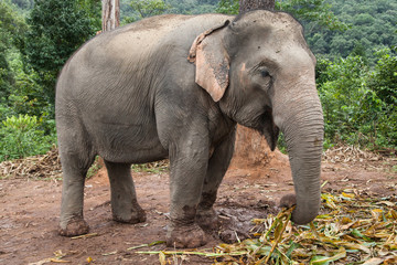 Asian Elephant Feeding in the Forest
